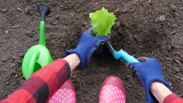 woman planting iceberg lettuce seedling - watering can stock videos and b-roll footage