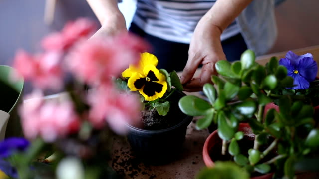 woman planting sweet violas in flowerpot, part ii - potting stock videos and b-roll footage