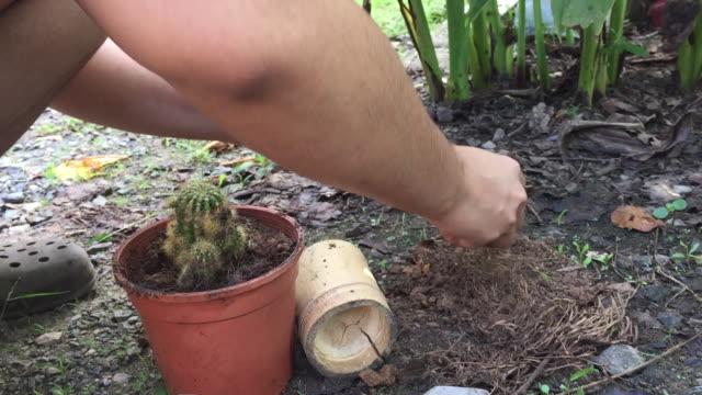 vidéos et rushes de femme plantant la plante de cactus - cactus pot