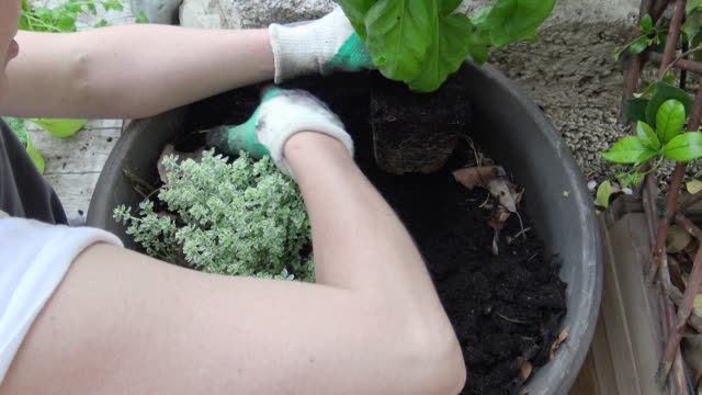 woman plants a basil in a pot - basil stock videos and b-roll footage