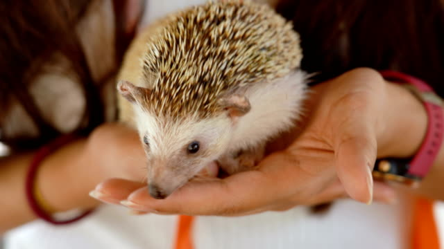 woman playing with the hedgehog - animal nose stock videos & royalty-free footage