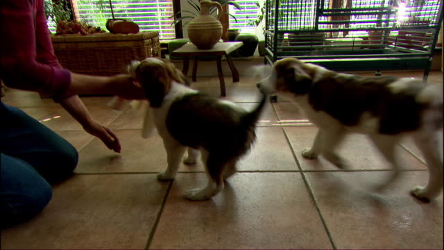 a woman plays with her puppies on a tile floor. - 子犬点の映像素材/bロール