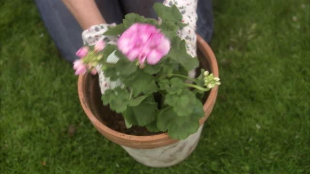 a woman potting a flower sweden. - ゼラニウム点の映像素材/bロール