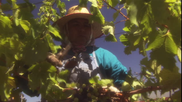 a woman prunes a grapevine. - vineyard stock videos & royalty-free footage