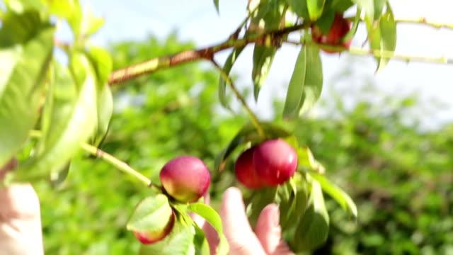 Woman prunes nectarine tree