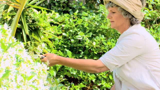 woman pruning a shrub / cape town, western cape, south africa - secateurs stock videos & royalty-free footage