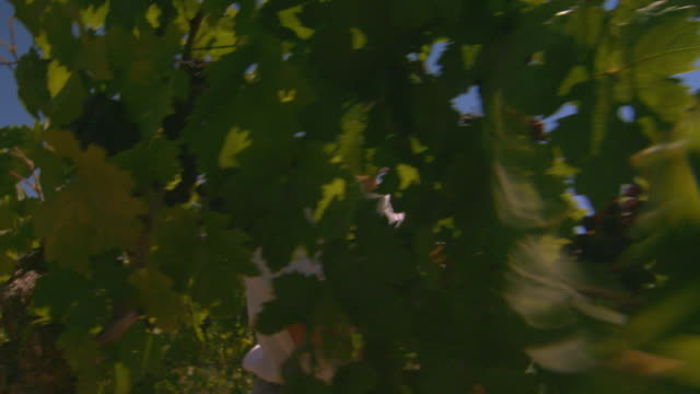 woman pruning grape vines, low angle handheld - one mature woman only stock videos & royalty-free footage