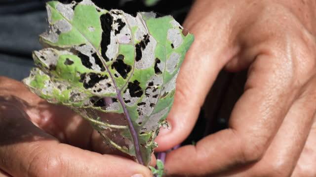 vídeos de stock, filmes e b-roll de mulher podando inseto folha danificada de planta vegetal - destruição