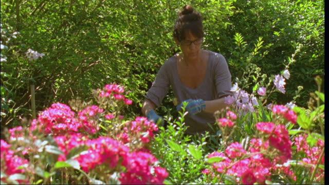 ms, woman pruning rose bush in garden, brussels, belgium - pruning shears stock videos & royalty-free footage