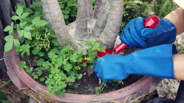 Woman pulling out unwanted weed in the flowerpod wearing gardening glove leisure activity