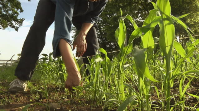 vídeos y material grabado en eventos de stock de la cu woman pulling weeds from the soil in an organic sweet corn plot/ chelsea, michigan, usa - arrancar malas hierbas