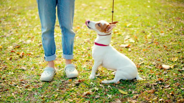 vídeos de stock e filmes b-roll de woman putting pet leash on jack russell terrier dog prepare for training - castanho