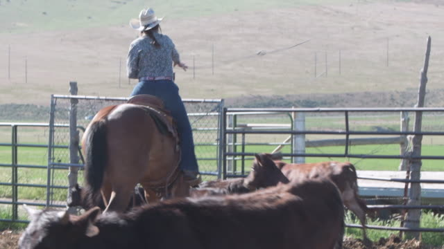 woman rancher lassos cattle for branding - cattle stock videos & royalty-free footage