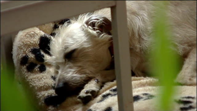 woman recovering after dog attack crawley int princess goodwin sitting at home with her mother princess's pet lurcher dog asleep on rug princess and... - pet bed stock videos and b-roll footage