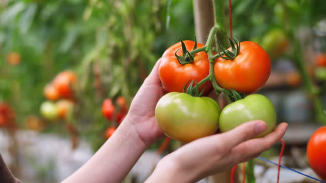 woman rips from the bush ripe red tomatoes - collection stock videos & royalty-free footage