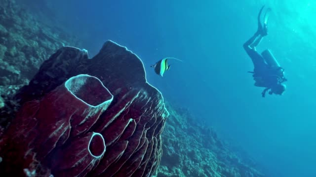 woman scuba diving swimming over barrel sponge (xestospongia testudinaria) coral reef, phi phi islands - aqualung diving equipment stock videos & royalty-free footage