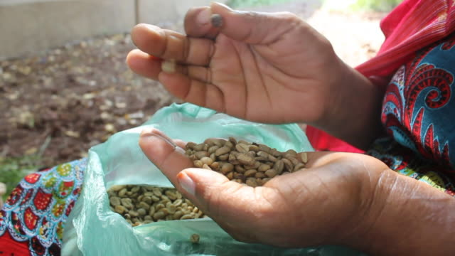 woman selecting coffee grains for coffee ceremony - äthiopien stock-videos und b-roll-filmmaterial