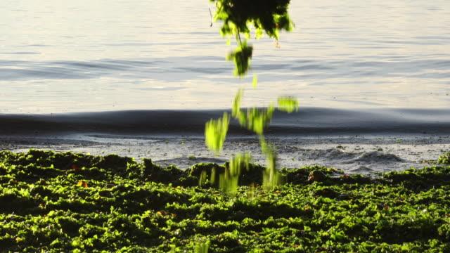 vídeos y material grabado en eventos de stock de mujer separa las manos a través de algas marinas, al amanecer - alga marina