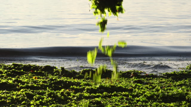 vídeos de stock e filmes b-roll de woman sifts hands through sea kelp, at sunrise - alga marinha