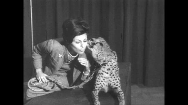 woman sits next to tame cheetah and gives it kisses as cheetah licks woman's face at pet show in new york - tame stock videos and b-roll footage