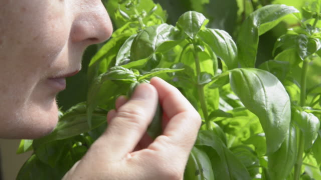 woman smelling and picking basil leaves ( ocimum ) - basil stock videos and b-roll footage