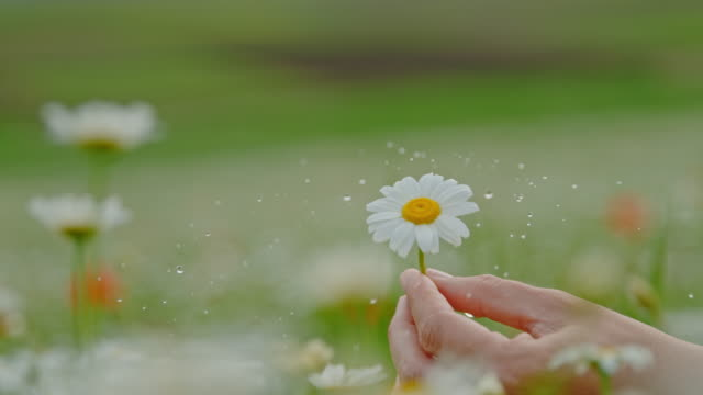 cu super slow motion woman spinning water droplets off fresh daisy flower - daisy stock videos & royalty-free footage