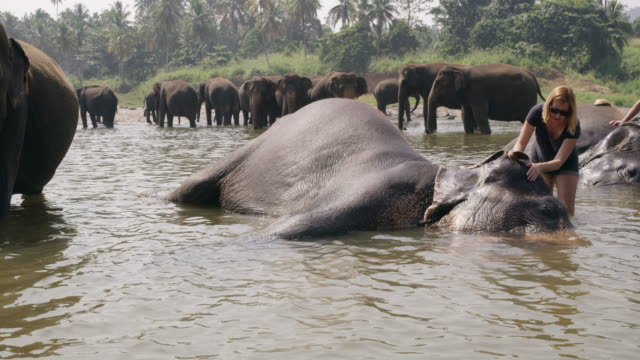 ms woman splashing water on elephant laying in water,sri lanka - tourist stock videos & royalty-free footage