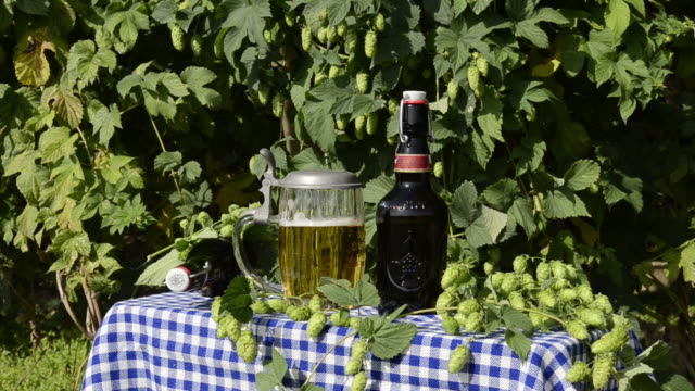 ms woman take a beer glass in hop garden / mainburg, bavaria, germany - retrieving stock videos & royalty-free footage