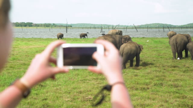 woman taking pictures of asian elephants with cellphone at sri lanka safari, sigiriya - photographing stock videos & royalty-free footage