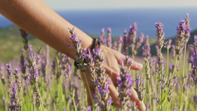 cu slow motion  woman touching lavender in sunny field - 10 seconds or greater stock videos & royalty-free footage
