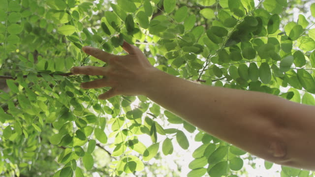 SLO MO Woman touching leaves of acacia tree