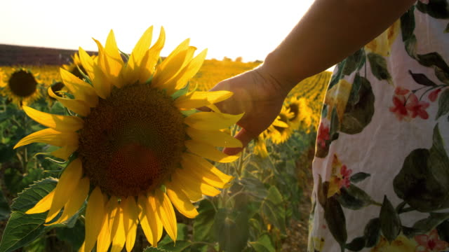 vidéos et rushes de femme de sp touchant des tournesols dans le domaine - douceur