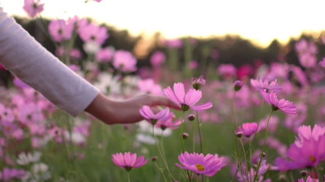 woman touching the cosmos flower stock video. - toccare video stock e b–roll
