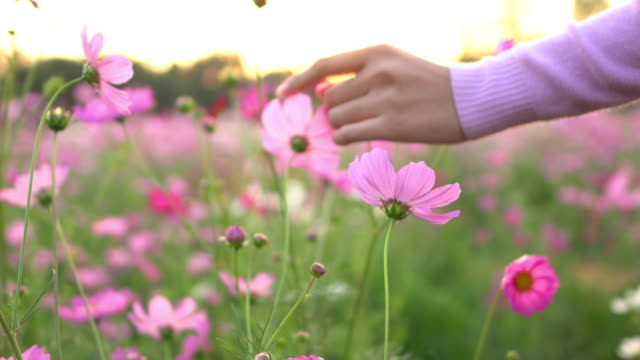 woman touching the cosmos flower - wildflower stock videos & royalty-free footage