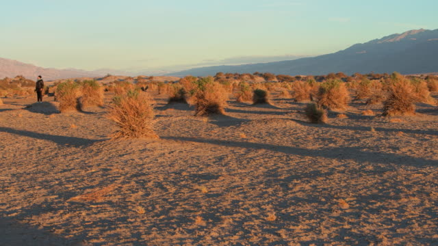 a woman, tourist, exploring devil's cornfield in death valley, california, at sunrise in winter. panning camera motion. - bush stock videos & royalty-free footage