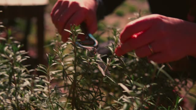vidéos et rushes de woman trimming rosemary. - jardiner