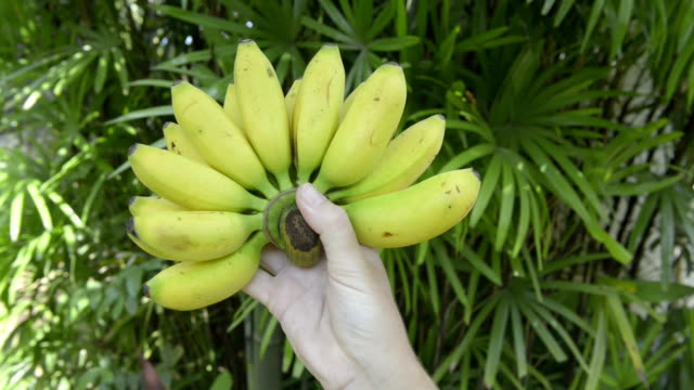 woman turns a bunch of finger bananas - ko samui stock videos & royalty-free footage