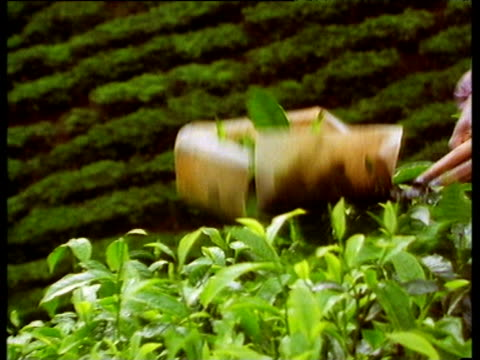 woman uses cutting shears with plastic box that collects freshly chopped tea leaves zoom out and pan left to valley of tea leaves growing on hill side - pruning shears stock videos & royalty-free footage