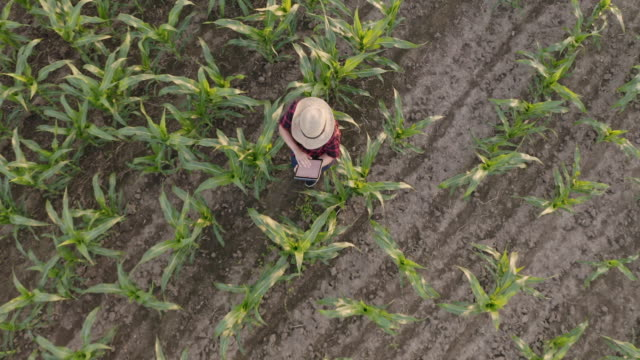 aerial woman using a tablet in a field of corn - top garment stock videos & royalty-free footage