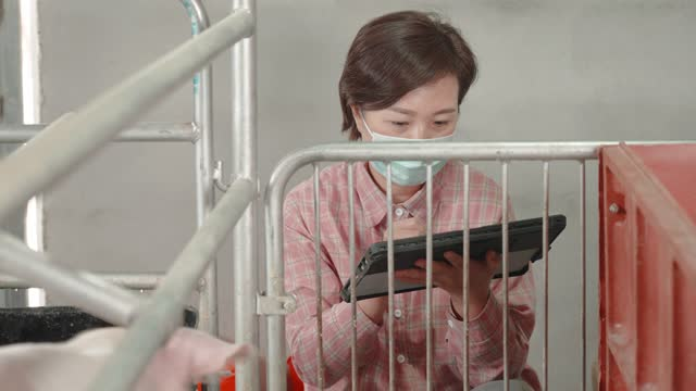 woman using digital tablet in pig farm - examining stock videos & royalty-free footage