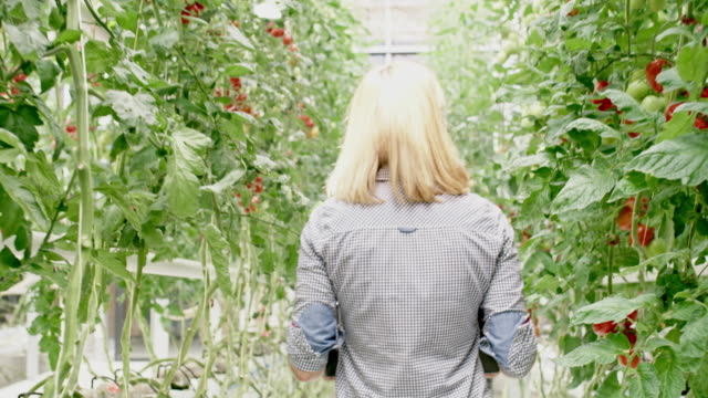 WS Woman walking among tomato plants in a greenhouse
