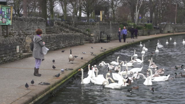 ms woman walking and feeding ducks and swans near pond / wiltshire, england, united kingdom - wiese stock videos & royalty-free footage