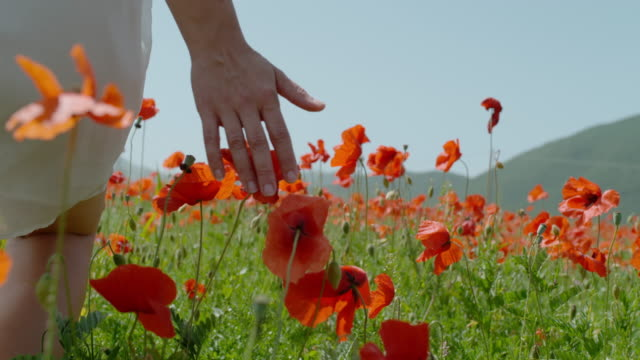 cu super slow motion woman walking in sunny field touching red poppy wildflowers - uncultivated stock videos & royalty-free footage