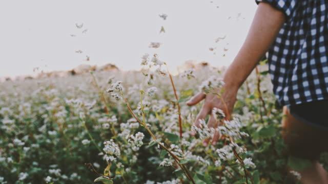 vidéos et rushes de woman ms marchant dans un domaine tranquil et rural de fleurs de sarrasin - simplicité