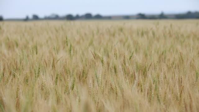 ms woman walking in wheat field touching wheat - 小麦点の映像素材/bロール