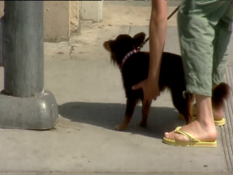 woman walking miniature pet dog picks him up and carries him into building beverly hills - dog erection stock videos & royalty-free footage