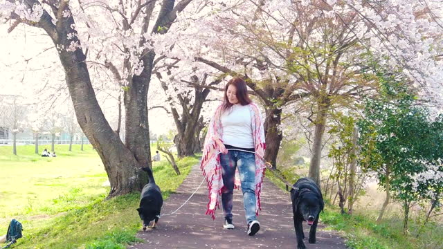 a woman walking slow motion with her two dogs under cherry blossom trees - pet leash stock videos & royalty-free footage