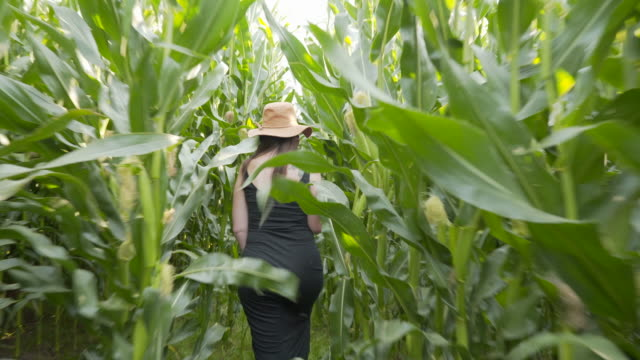 a woman walking the public footpath through a maize field - maze stock videos & royalty-free footage