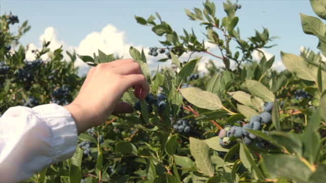 woman walking through blueberries farm with hand touching - blueberry stock videos & royalty-free footage