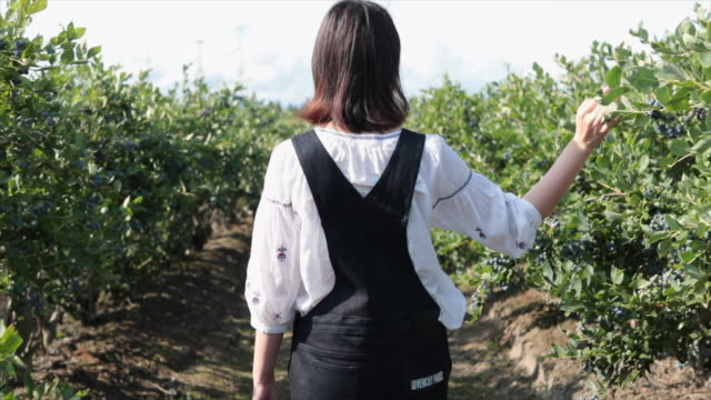 woman walking through blueberries farm with hand touching - british columbia stock videos & royalty-free footage